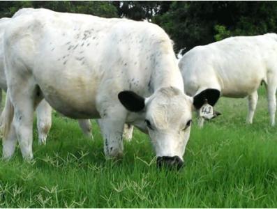 فروش گوساله کیلویی