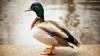 اردک اصل ورامین