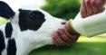 فروش گاو سمینتال گوشتی