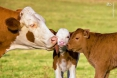 گوساله پرواری سوئیسی